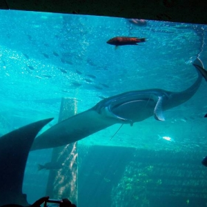 Manta Ray at Atlantis.