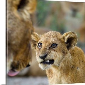 close-up-of-a-lion-cub-ngorongoro-conservation-area-arusha-region-tanzania-